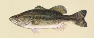 bass-wielkoglowy